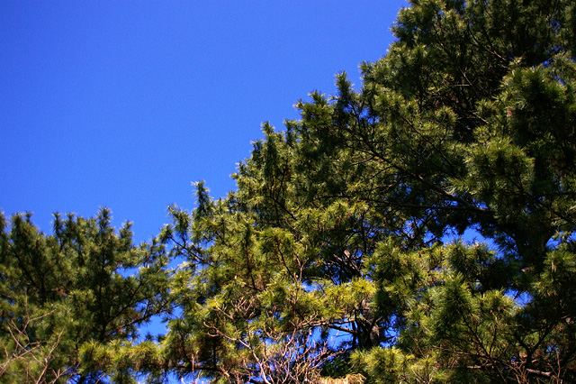 Pine and blue sky