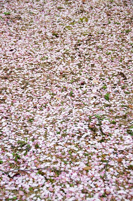 桜の花びらのカーペット