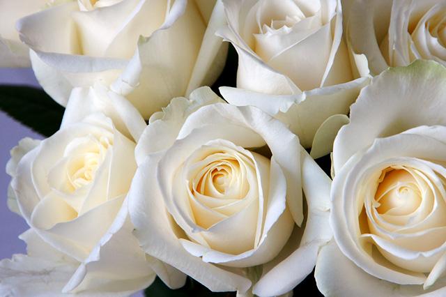 アバランシェという白いバラ