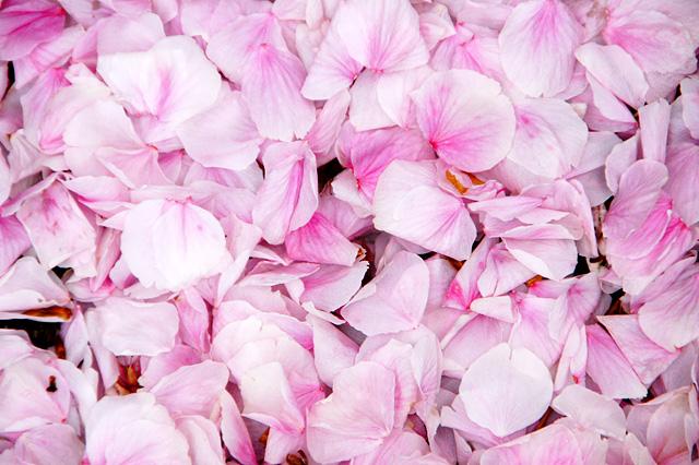 桜の花びらのテクスチャ