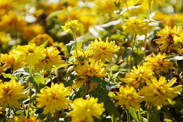 たくさんの黄色い花