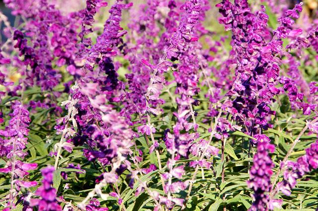 複数の紫色の花