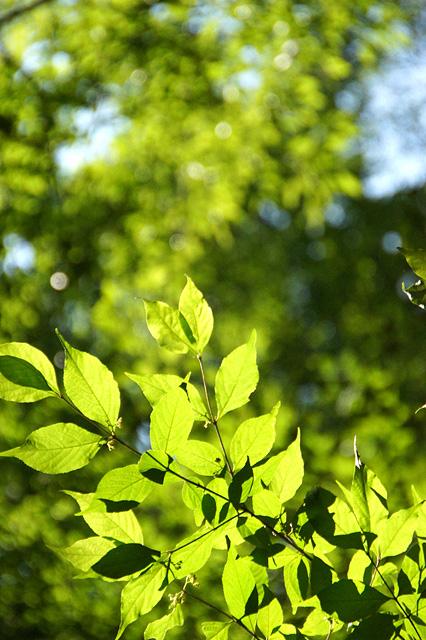 日光に透ける葉