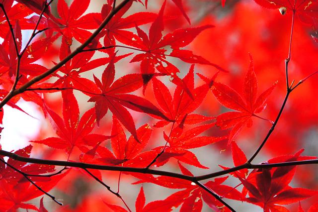 赤い色の紅葉した葉っぱ
