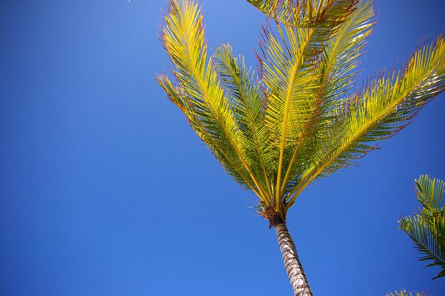 風に吹かれる椰子
