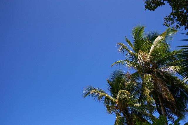 ヤシの木の無料写真素材