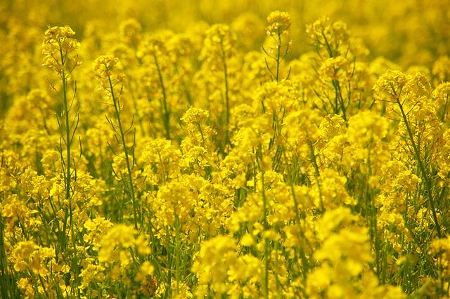 菜の花の写真素材 フリー
