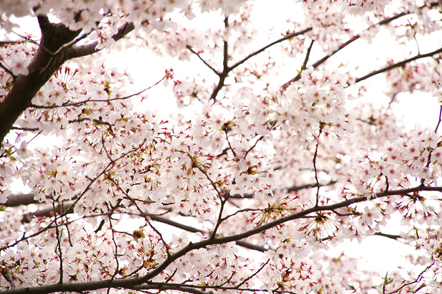 桜の無料写真素材