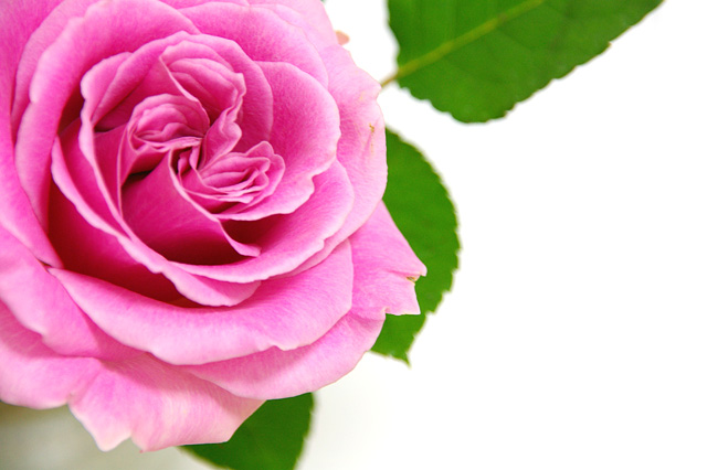 バラの写真素材 フリー