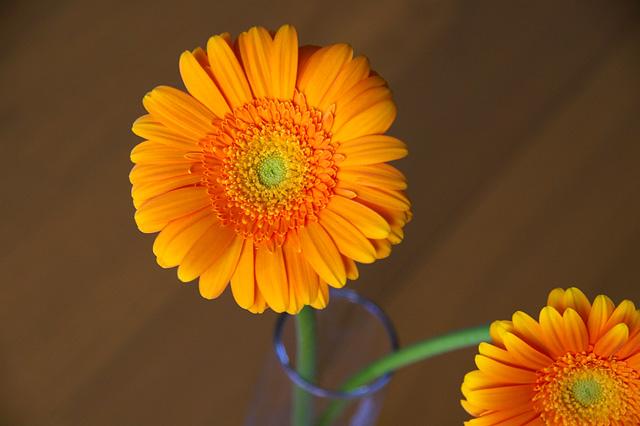 オレンジのガーベラの写真素材 フリー