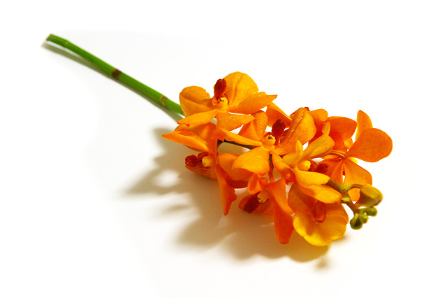 モカラ(花)