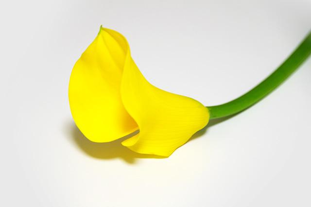 カラーという花の写真素材 フリー