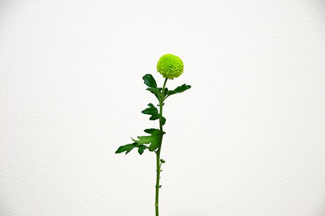 ピンポンマムの花の写真素材 フリー