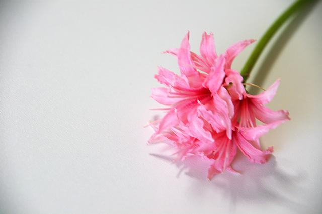 ピンクのダイヤモンドリリー