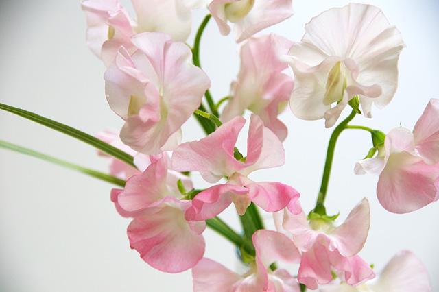 ピンクのスイートピーのフリー写真素材
