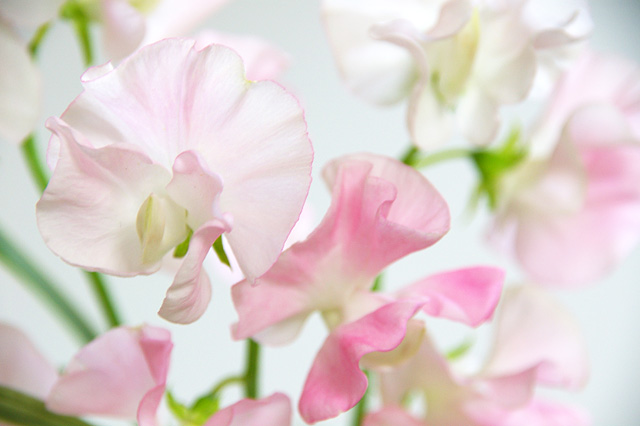 ピンクのスイートピーの無料写真素材