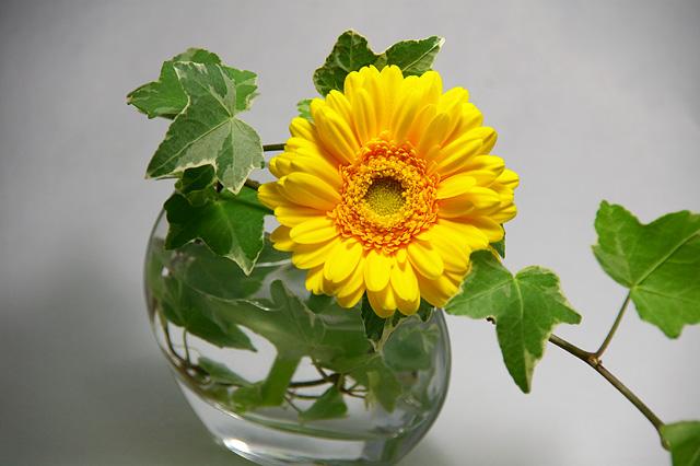 黄色いガーベラの写真素材 フリー