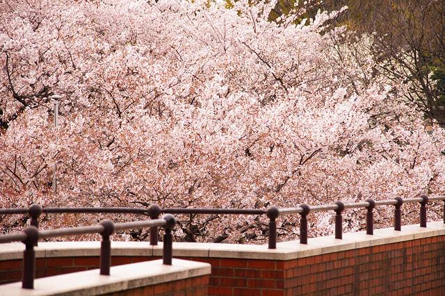 レンガ道と桜