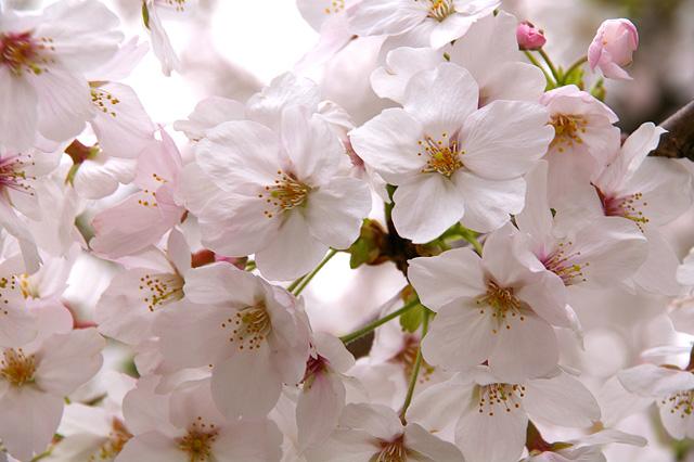 桜の花のアップの写真素材 フリー