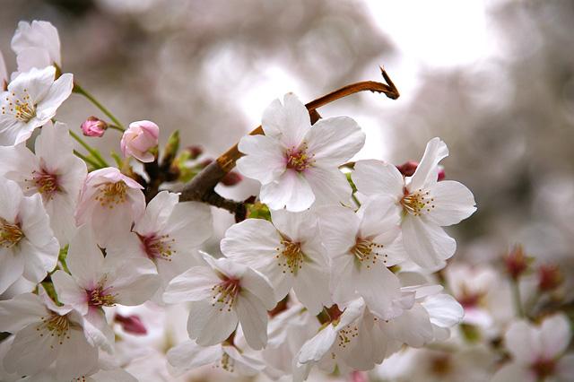桜の花の写真素材 フリー