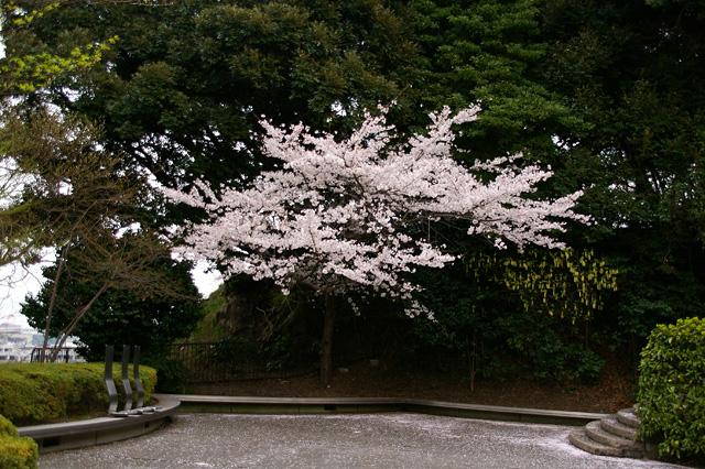 浮き立つ桜の木