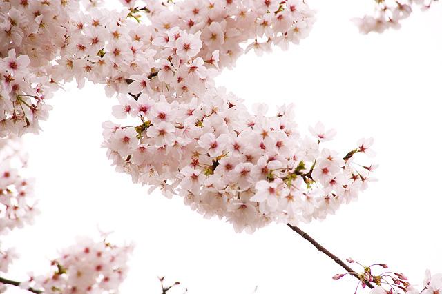 枝についた桜の写真素材 フリー