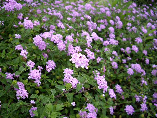 紫の花の群生