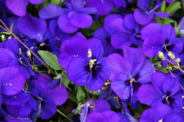 紫のパンジーの写真素材 フリー