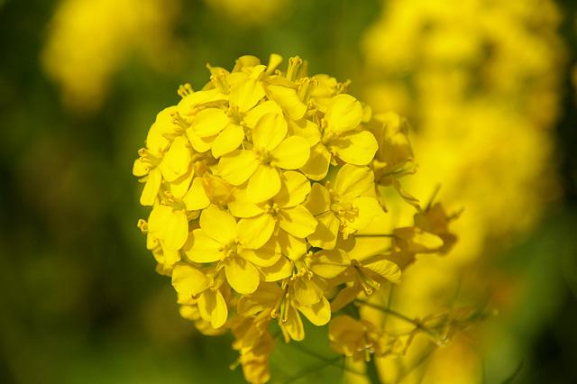 菜の花の塊の写真素材 フリー