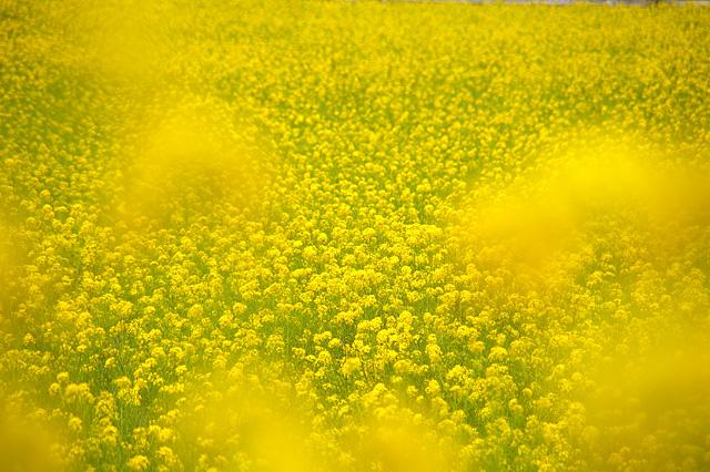 菜の花カーテン