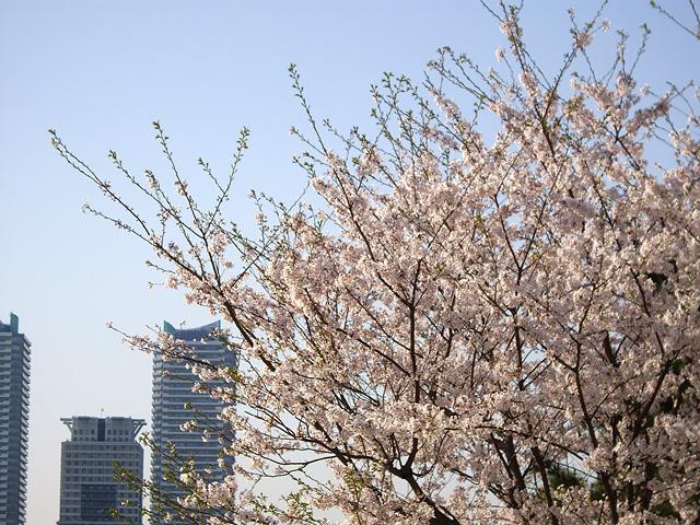 桜と高層マンション