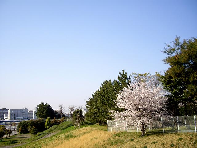 丸い桜の写真素材 フリー