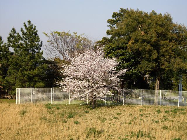 一本の桜の木の写真素材 フリー