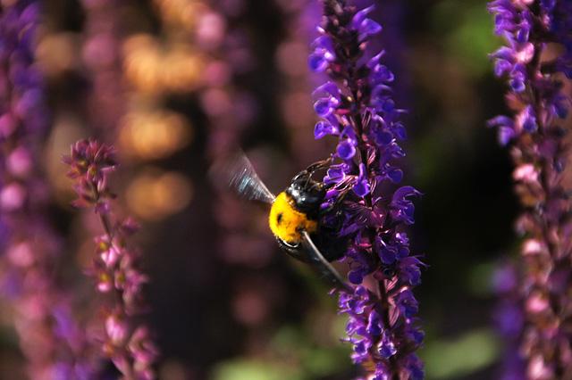 黒くて大きな蜂