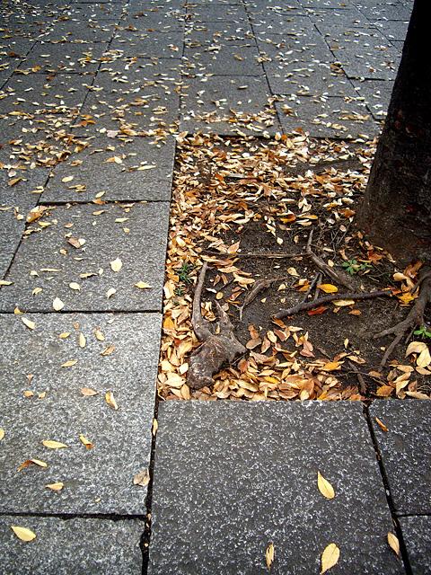 街路樹の根っこ