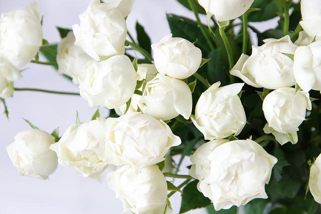 コットンカップ薔薇の無料写真素材
