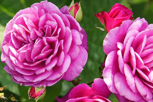 オールドポート薔薇