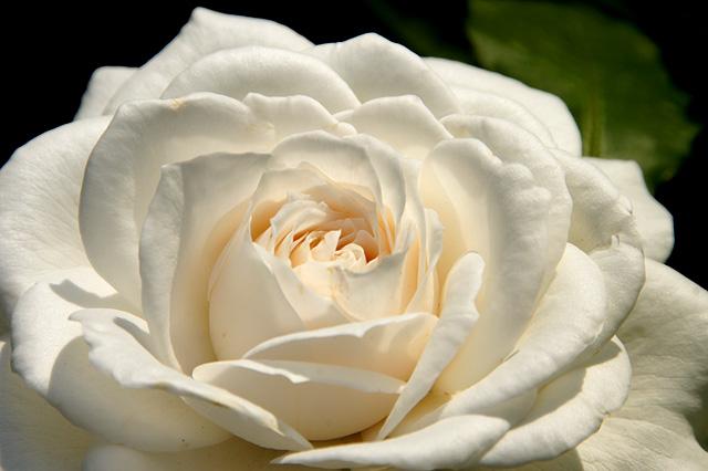 白くて大きなバラ