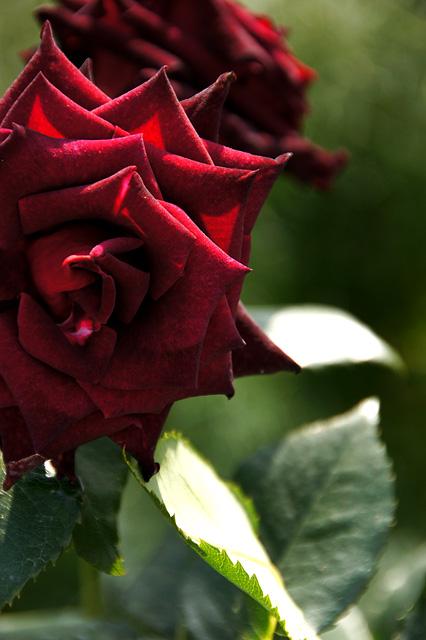 花壇に咲く赤いバラ