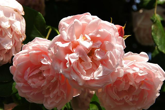 華やかなピンク色の薔薇