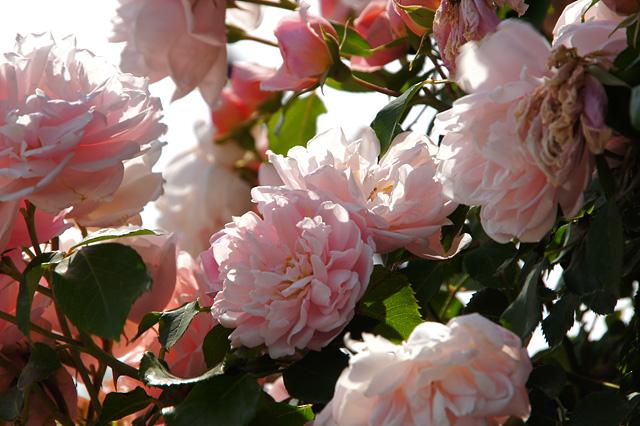 たくさんのピンクの薔薇