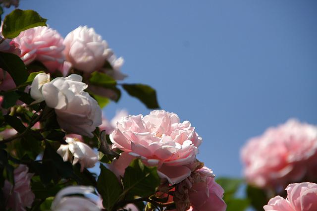 青空とピンクのバラ
