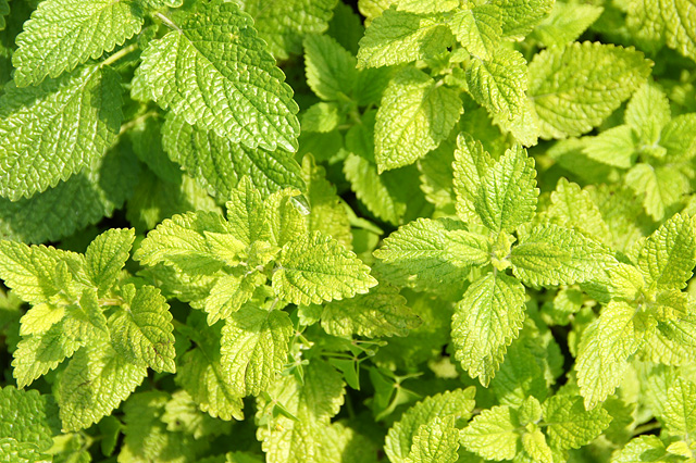 ミントの葉っぱのフリー写真素材