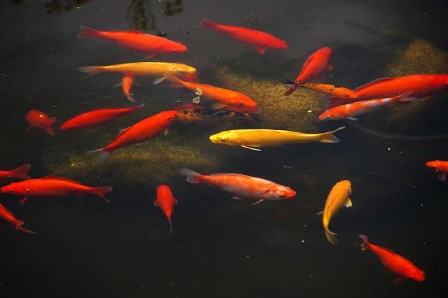 池の鯉の写真素材 フリー