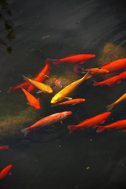 池の鯉の無料写真素材