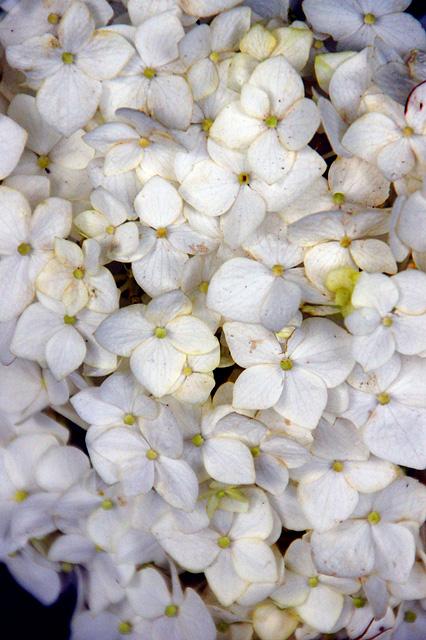 白いアジサイの無料写真素材