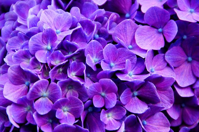 鮮やかな紫の紫陽花