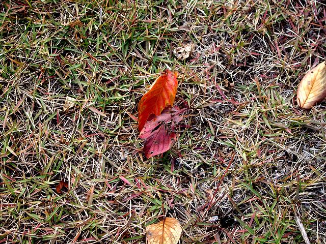 芝生の上の枯れ葉