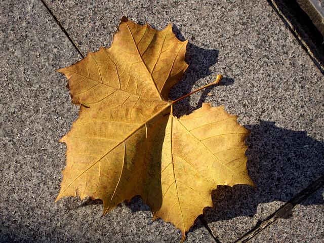黄色い落ち葉の写真素材 フリー