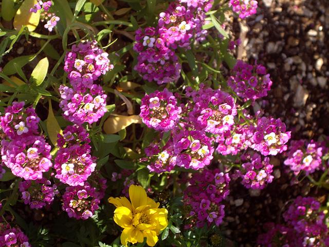 ピンクの小さな花の写真素材 フリー